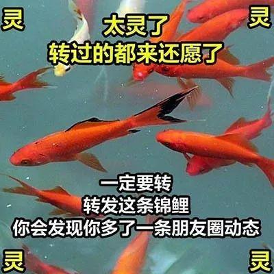 中国锦鲤简史